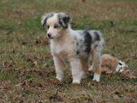 ONLY 2 LEFT! Need loving Holiday Homes! (1 Blue Merle