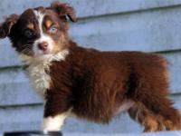 We have a beautiful litter of Mini Australian shepherd