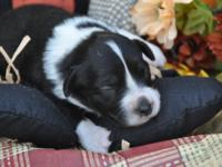 AKC Miniature American Shepherd puppies. (Formerly