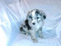 We have mini Aussie young puppies prepared to go to