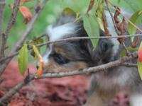 Registered ASDR Mini Aussie pups. Eligible for Masca