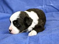 Gorgeous litter of ASDR registered small aussie young