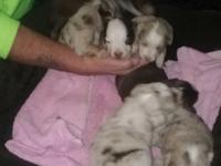 We have 7 Miniature Australian Shepherd puppies. 6