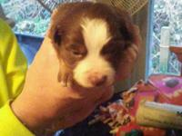 We have 6 Miniature Australian Shepherd Puppies for