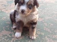 Mini Aussie puppies - 5 weeks old today. Tails docked,