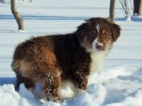 This Red tri female Mini Aussie puppy is a green eyed