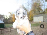 Blue Merle female. Absolutely breath taking color and