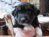 We have one black tri female pup available out of