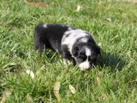 Lola is a blue merle female with one blue eye. She is a