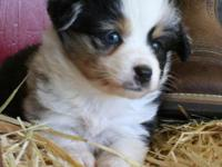 Jillian is a sweet little blue merle with one blue and