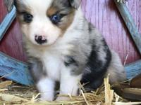 Jared is a blue merle with tow blue eyes and a full