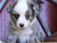 Johnny is a blue merle male with two blue eyes. He is a