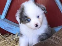 Juno is a precious blue merle male with two blue eyes.