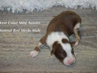 This little guy is gorgeous. He is a minimal Merle and