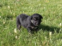 Teddy is a black tri male. He is the smallest of his
