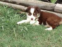 We have a beautiful mini aussie pup. He is tricolor
