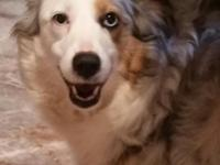 Roxanne is 6 year old blue merle female with blue eyes.