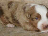 This little Red Merle Male has beautiful dark red merle
