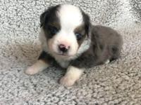 Marshall is a blue merle male with two blue eyes and a
