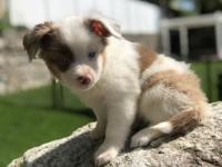 Royal is a pure bred miniature Australian Shepard. He