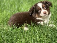 Chas is a pure bred miniature Australian Shepard. He is