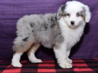 Check out this Amazing Mini australian Shepherd puppy!