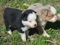 New Litter of Mini Aussie Puppies. Prices range 600 to