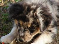 Registered MASCA blue merle 4 month old male for sale