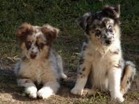 Registered Mini Aussies for sale. New trashes due! All
