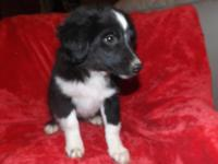 Black Tri Mini Aussie puppy-Registered Current