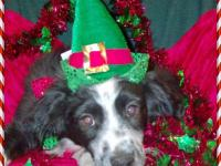 Chrome is a Male Mini Aussie. He is a black bi without
