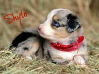 Registered Miniature Australian Shepherds 8 weeks