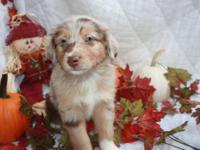 I have 10 mini Aussie pups that are ready to go around