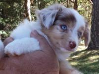 ASDR Registrable Mini Aussies will be ready for their