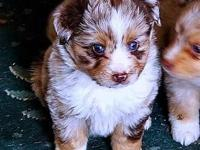 Registered MASCA Baby Australian Shepherd dogs. High