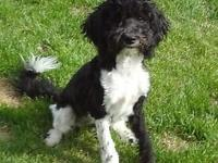 Miniature Black and White Labradoodle Female. She has