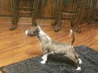 AKC registered miniature brindle and white boy. Mom is