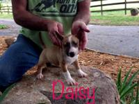Daisy is super small and compact. She is fawn/red and