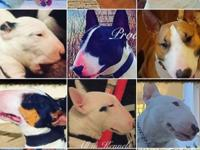 top quality miniature bull terrier puppies for sale,