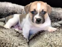 Kodiak is beautiful plush Miniature Bulldog puppy. He