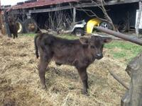 We have two crossbred minature bull calves for sale.