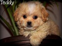 10 week old miniature Cavapo (Cavalier King