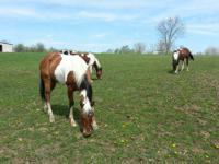 "I have two Colts will be small under 32"". stallion of"