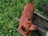 Hadley is a miniature dachshund, whom was born on