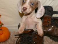 I am a small hobby breeder on miniature dachshunds in
