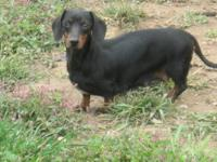 Delilah is a 4 yr old black/tan shorthair female that