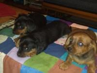 Three miniature doxens short hair 2 Females 1 Male Both