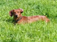 Hadley is a 1yr old purebred miniature weiner dog. She
