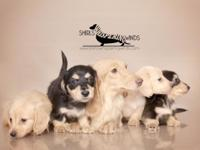 We are a breeder of Baby Dachshunds. We reproduce long