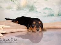 We are a breeder of Miniature Dachshunds. We breed long